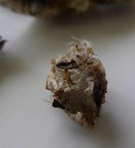 Un petit morceau de résine récoltée sur une racine de gommier blanc