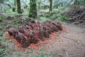 recolte-huile-de-palme