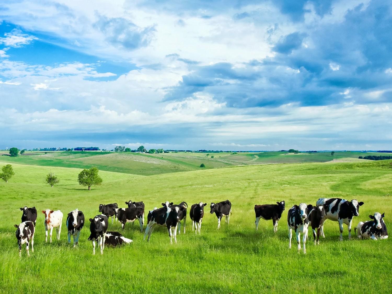 fotos-de-vacas-en-el-campo