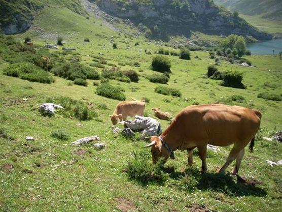 Les vaques