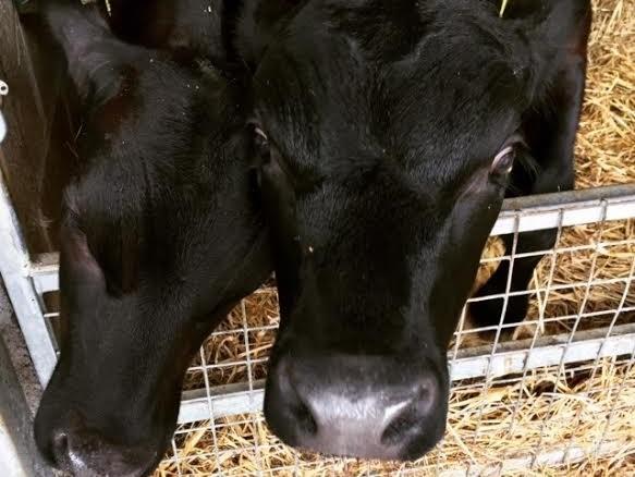 Cows at Newgrange Farm