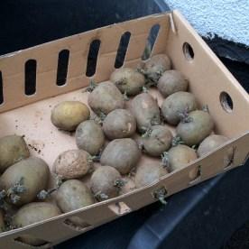 2,5 kg Pflanzkartoffeln hatten wir in einer praktischen Vorkeimkiste zimmerwarm und hell gelagert, um die Keimbildung anzuregen.