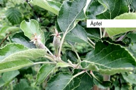 aepfel2016