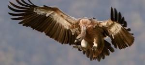 eagle mum
