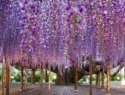 98-pergolas-wisteria