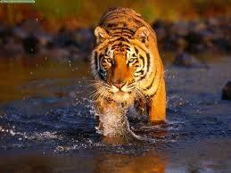 Bangali Lion