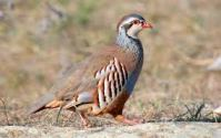 Wildlife Department allows the hunting of Partridge and See See
