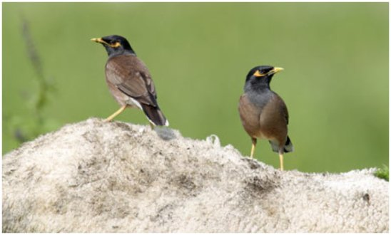 The wildlife teams arrest two people for netting myna and sparrows