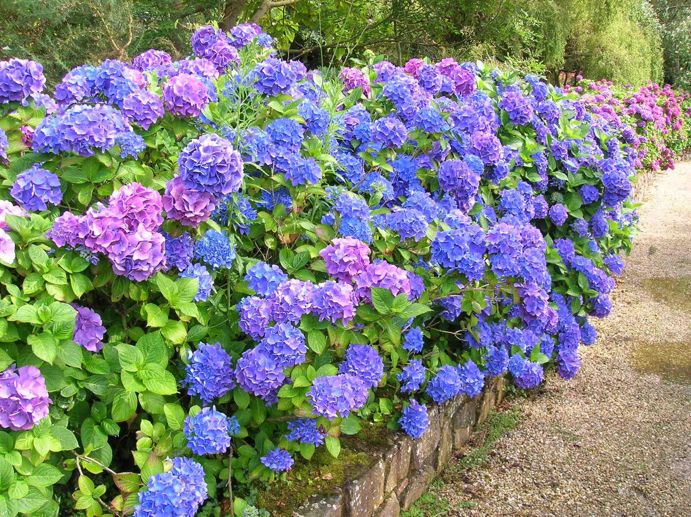 Fullsize Of Nikko Blue Hydrangea
