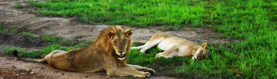Träge Löwen in Tanzania nach dem Liebesspiel.