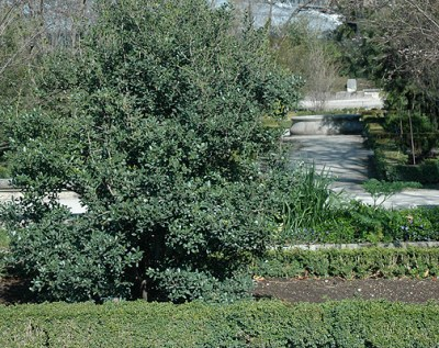 Osmanthus heterophyllus | Landscape Plants | Oregon State University