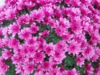 crizantema_2-2