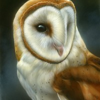 Barn Owl - Finished Work