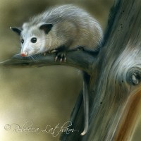 Out on a Limb - Opossum