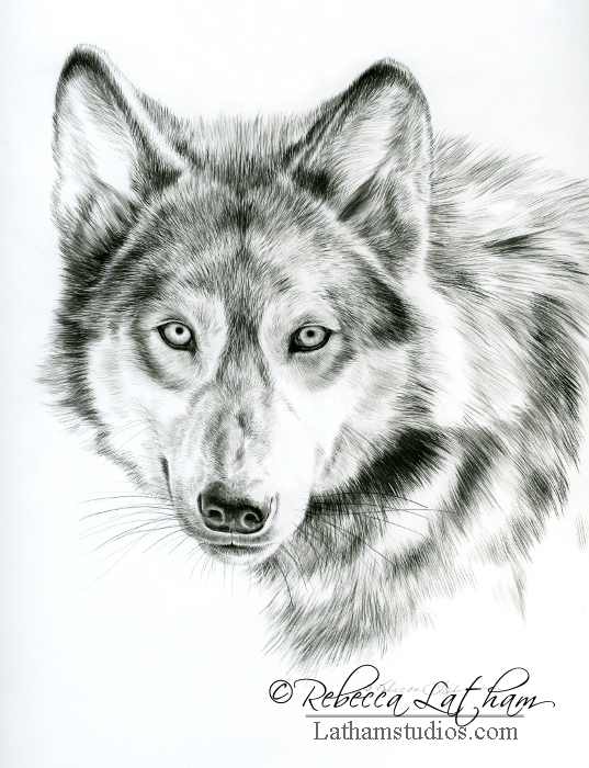 Piercing Gaze - Wolf, 8.5in x 11in, Graphite on board, ©Rebecca Latham