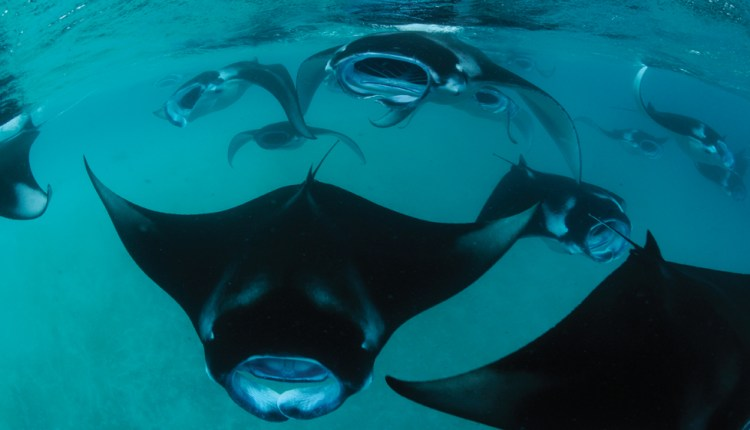 Manta ray expeditions aboard Four Seasons Explorer