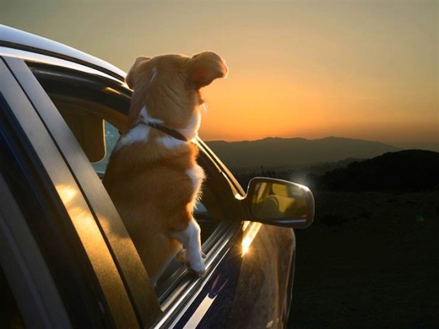 Dogs in Cars - Sunset