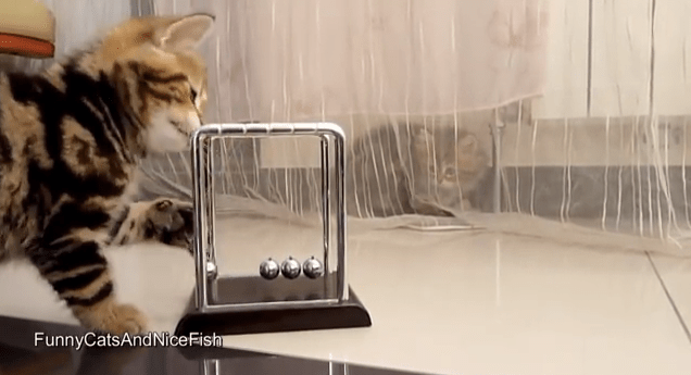 Kittens with Newton's Cradle