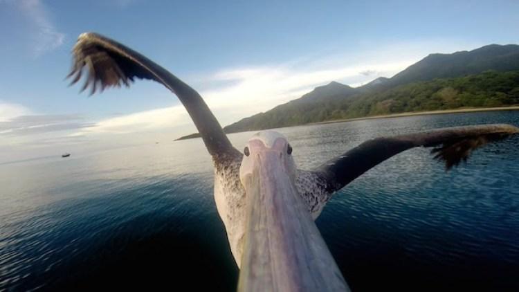 Big Bird  the Pelican In Flight