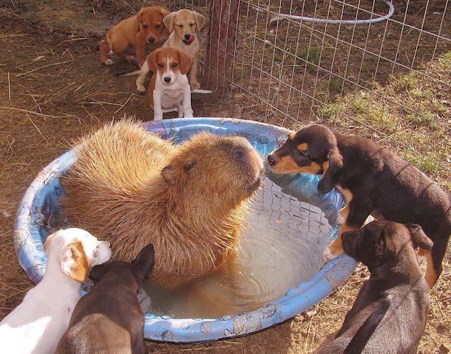 Cheesecake the Capybara and Puppies