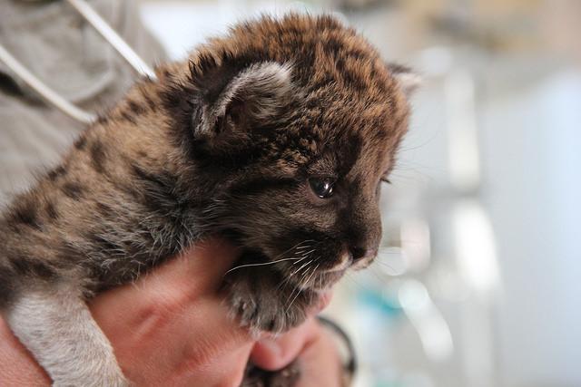 Florida Panther Kitten