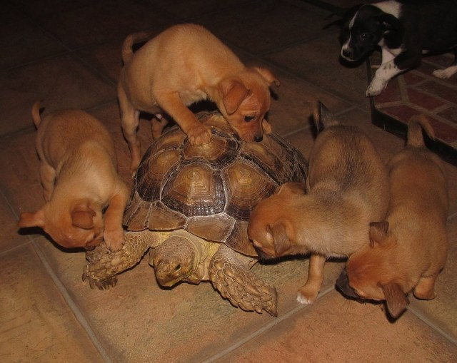 Pups and Tortoise