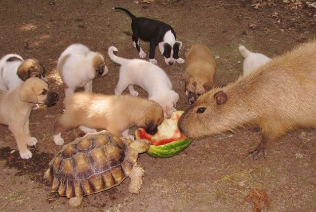 Watermelon Animals