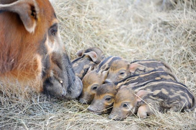African Red Hogs With Mother