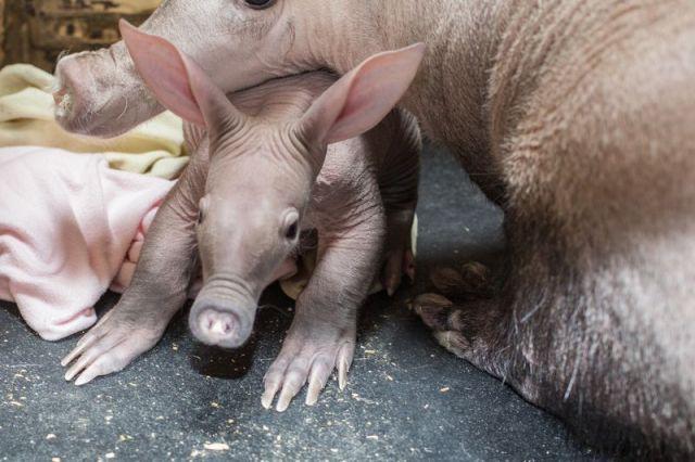 Baby Aardvark With Mama