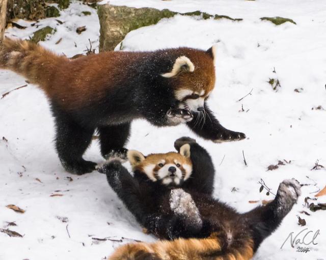 Red Pandas Playing In Snow