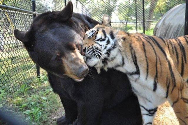 Tiger Snuggling Bear
