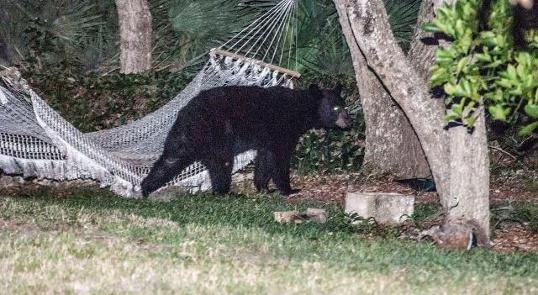 Bear Next to Hammock