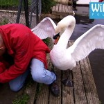 Animal Rescuer Gently Frees Baby Swan From Chain Link Fence While Politely Waving Off Irate Swan Father