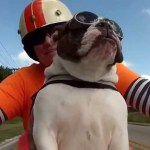 Biker Bulldog Independently Returns a Courtesy Wave To Another Rider on the Road