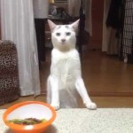 Obedient Cat Backs Away From the Dinner Table on Her Hind Legs When She Is Asked To Do So