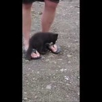 Tiny Gray Arctic Fox Nibbles on a Man's Exposed Toes in Absolute Delight