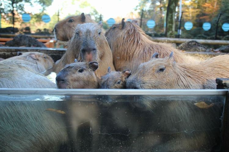 Capybaras in Bath
