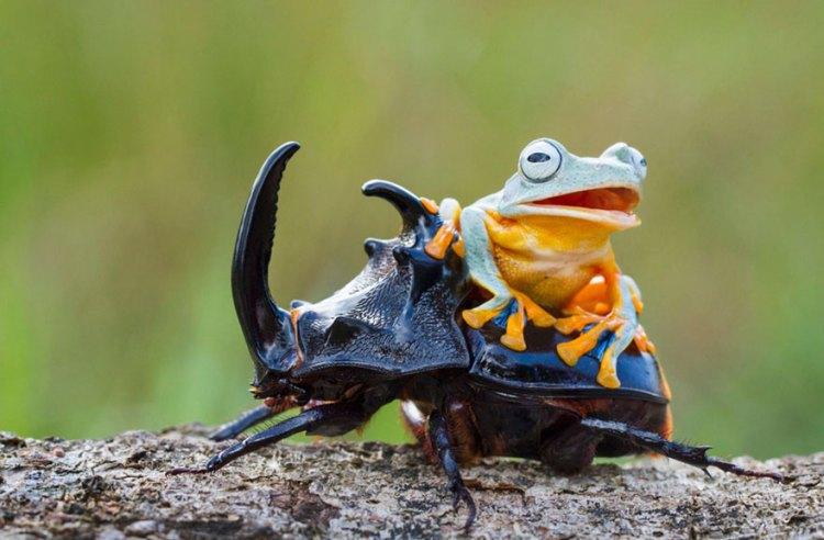 Frog Beetle - Getting On