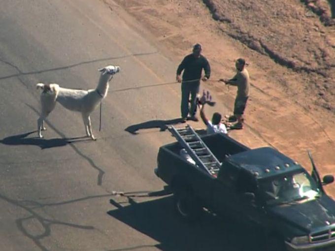 Llama Capture