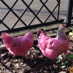 Two Bright Pink Chickens Rescued on the Waterfront in Portland, Oregon