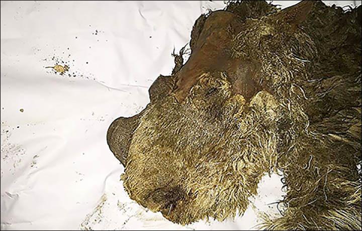 Baby woolly rhino head