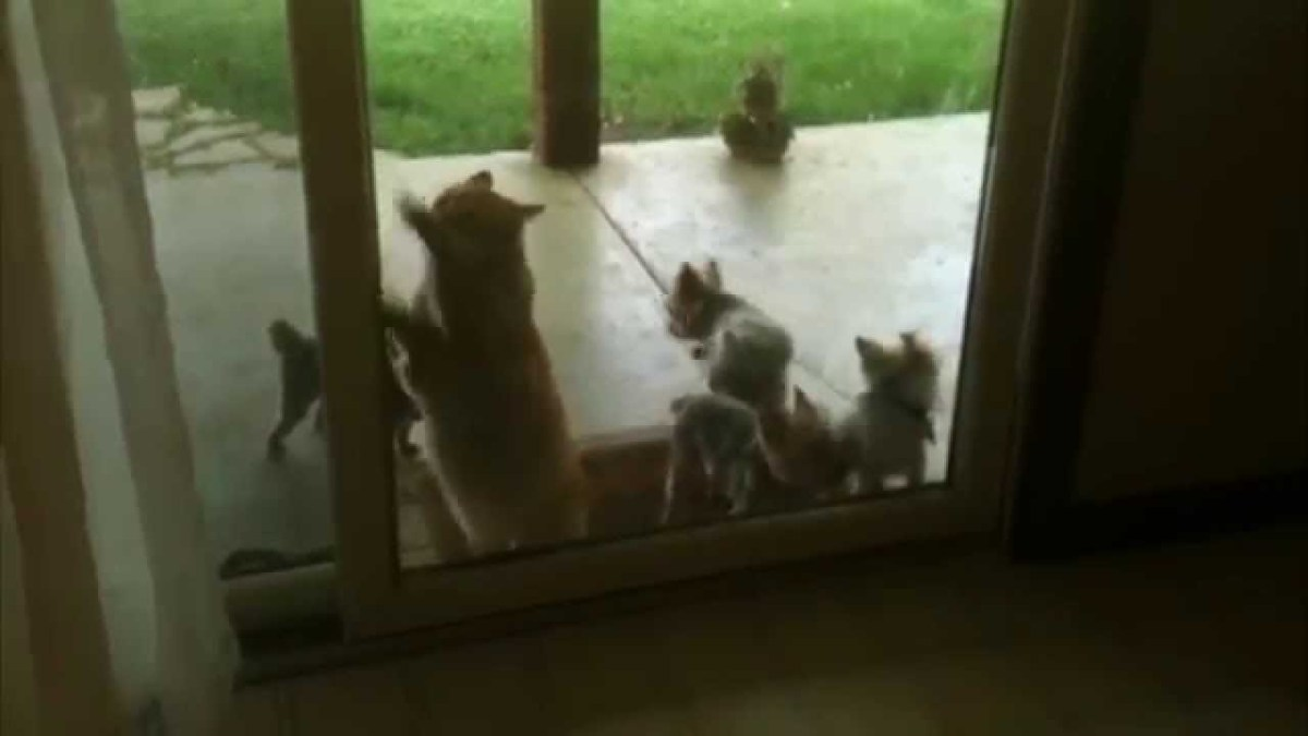 Clever Orange Tabby Cat Figures Out How to Open a Back Door to Let a Troop of Puppies Back Inside