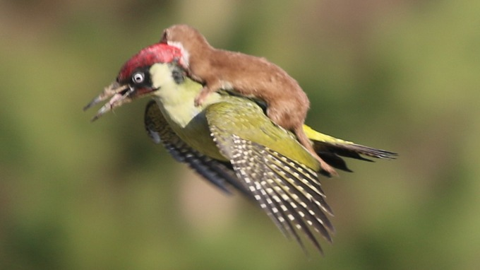 Photos of a Woodpecker Flying With a Weasel On Its Back