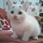 Concerned Kitten, An Adorable Eight-Week-Old White Kitten Born With a Distinct Set of Questioning Black Eyebrows