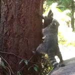 A Mother Raccoon Patiently Teaches Her Baby How to Climb a Backyard Tree