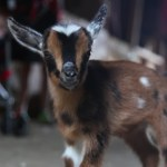 One Week-Old Pygmy Goats Meet the Protective Resident Barn Cat For the First Time