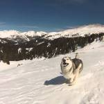 Beautiful GoPro Footage of a Gorgeous Wolfdog Gleefully Running Through the Colorado Snow
