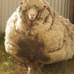 Chris the Extremely Woolly Sheep Has Been Safely Sheared and Set a New World Record of 40.45 kg of Wool