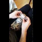 Tiny Bengal Kitten Doesn't Mind That His Human Makes Him Look Like Yoda While He Relaxes