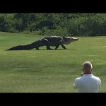 Remarkable Footage of an Enormous Alligator Strolling Obliviously Across a Florida Golf Green